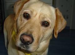 Fonds d'écran Animaux Mon labrador