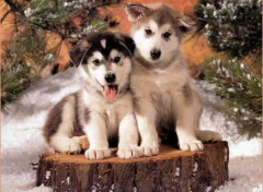 Wallpapers Animals Ptits Huskys