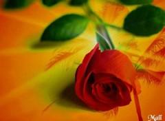 Fonds d'écran Nature la rose
