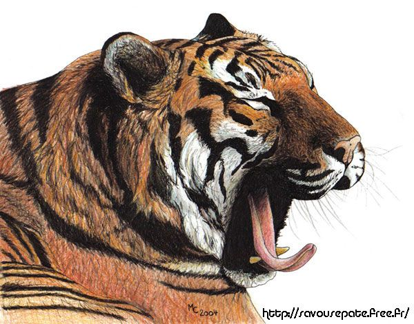 Wallpapers Art - Pencil Animals - Felines Tigre