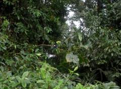 Wallpapers Animals Toucan Keel Billed - Costa Rica - Réserve de Tortuguero