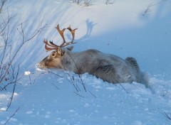 Wallpapers Animals CaRiBou DaNs La NeIgE!