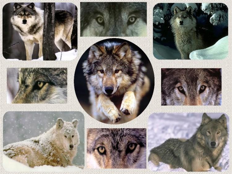Fonds d'écran Animaux Loups Le loup