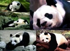 Wallpapers Animals Le panda