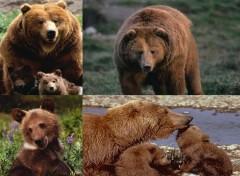 Fonds d'écran Animaux L'ours brun
