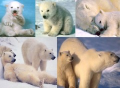 Fonds d'écran Animaux L'ours polaire