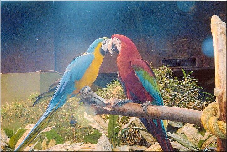 Fonds d'écran Animaux Oiseaux - Perroquets je t aime