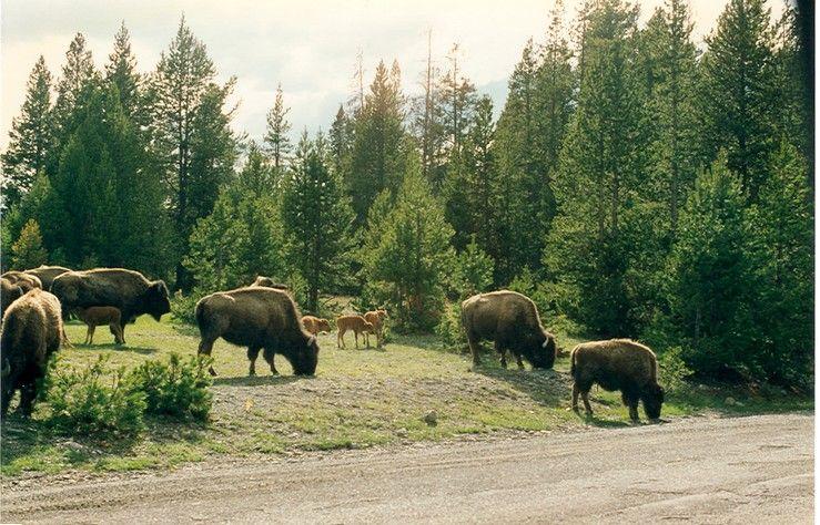 Fonds d'écran Animaux Bisons - Buffles bison