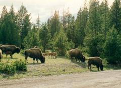 Fonds d'écran Animaux bison