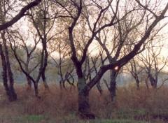 Fonds d'écran Nature chênes verts