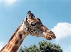 Fonds d'écran Animaux la girafe