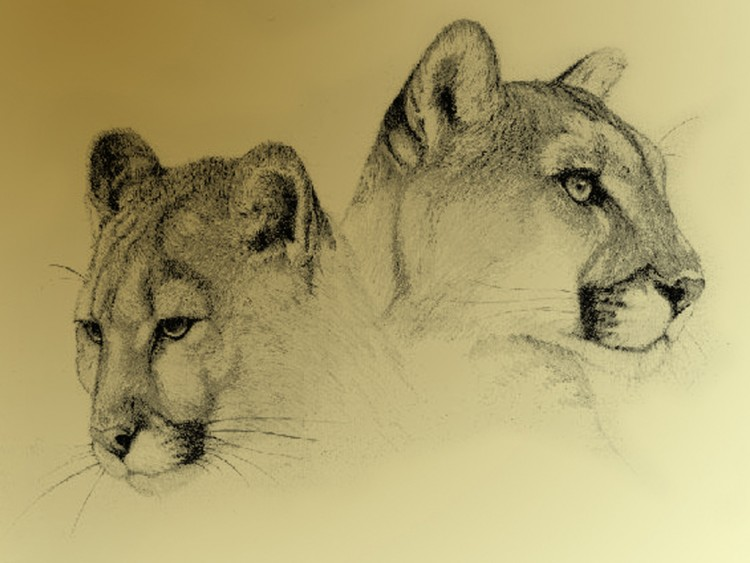 Wallpapers Art - Pencil Animals - Felines Tête de tigre.