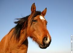 Fonds d'écran Animaux Buste de cheval