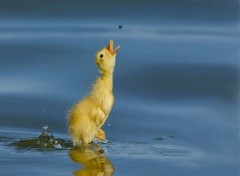 Wallpapers Animals Beau petit canard