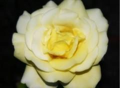Fonds d'écran Nature Rose de satin