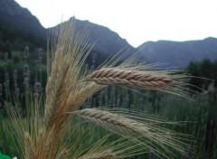 Fonds d'écran Nature Epis de blé devant montagne.