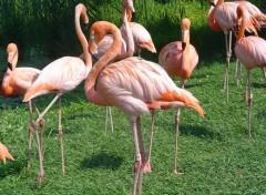 Fonds d'écran Animaux flamant-rose
