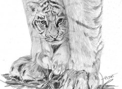 Wallpapers Art - Pencil Jeune tigre et sa mère