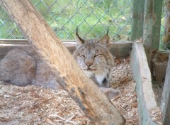 Fonds d'écran Animaux Lynx