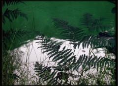 Fonds d'écran Nature fougères