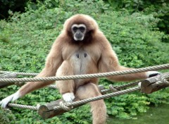 Fonds d'écran Animaux Un singe qui à la vie cool