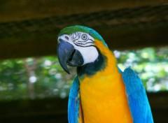 Wallpapers Animals Ara (Guyane)