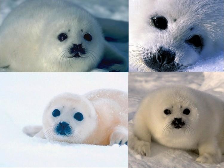 Fonds d'écran Animaux Vie marine - Phoques Baby phoque