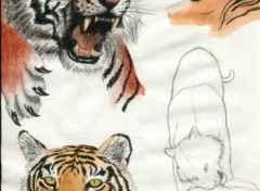 Wallpapers Art - Pencil étude de tigres