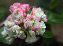 Fonds d'écran Nature Pelargonium pompon
