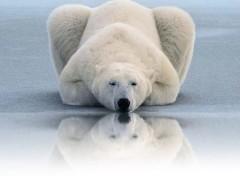 Fonds d'écran Animaux Ours au bord de l'eau