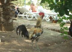 Fonds d'écran Animaux Coq en vacances