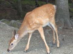 Fonds d'écran Animaux Bambi