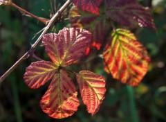 Fonds d'écran Nature Feuille d'automne...