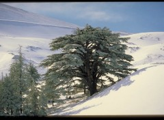 Wallpapers Nature cedre du liban en hiver
