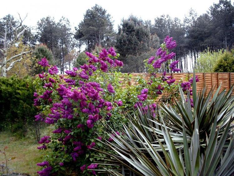 Fonds d'écran Nature Fleurs Lilas en flaurs
