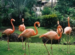 Fonds d'écran Animaux Flamand rose