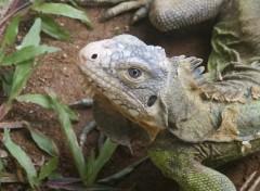 Wallpapers Animals Iguane