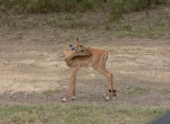 Fonds d'écran Animaux bebe impala