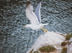 Wallpapers Animals Mouette en envol