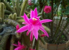 Wallpapers Nature Fleur de cactus