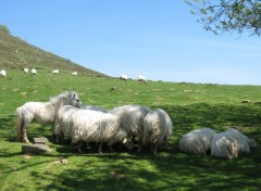 Wallpapers Animals Moutons & Intrus