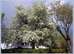 Fonds d'écran Nature Cerisier Geant