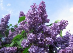 Fonds d'écran Nature Lilas mauve et ciel bleu