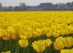 Wallpapers Nature Champ de tulipes en Hollande