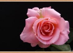 Fonds d'écran Nature Rose du jardin.