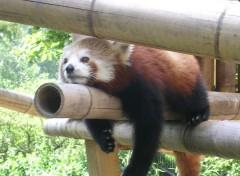 Wallpapers Animals Petit Panda