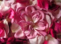 Fonds d'écran Art - Numérique Pétales de roses