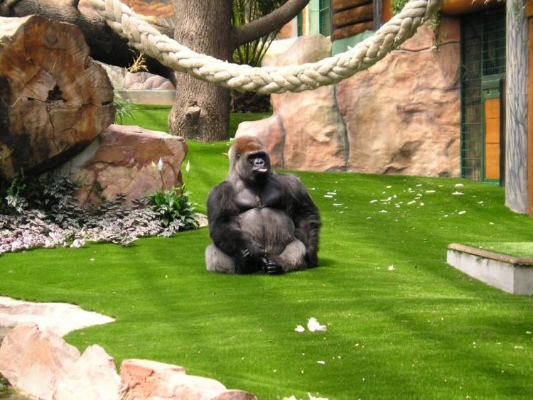 Wallpapers Animals Wallpapers Monkeys Zoo St Martin La