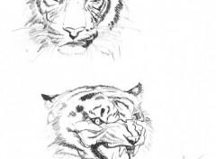 Wallpapers Art - Pencil Etude de tigres