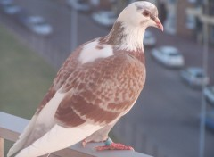Fonds d'écran Animaux le pigeon